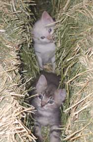 kittens in hay