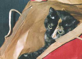 tortoiseshell cat in bag