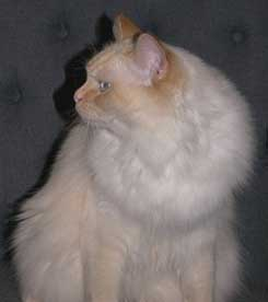 Flame Point Ragdoll